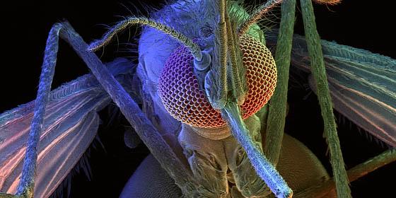 Ариманизъм: Пуснаха генетично модифицирани комари на свобода