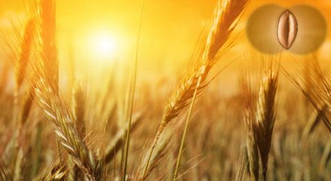 В името на Житото