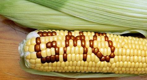 Над 40 научни доклада показват: ГМО са катастрофални за здравето
