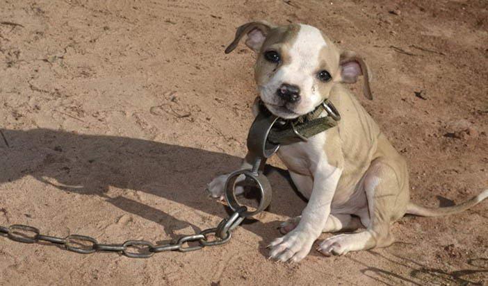 Като вързан пес